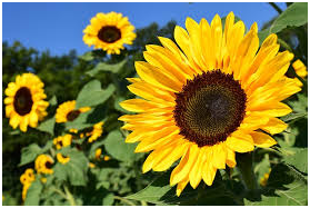 父の日 花 種類 画像5